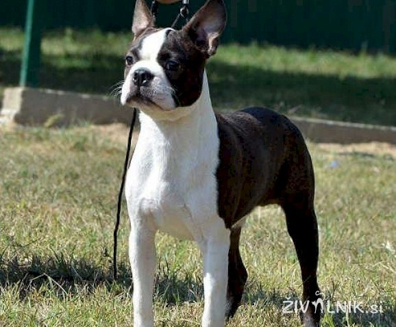 BOSTON TERRIER stene i muzjaci za parenje