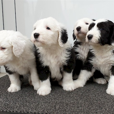 Bobtail Puppies for selling