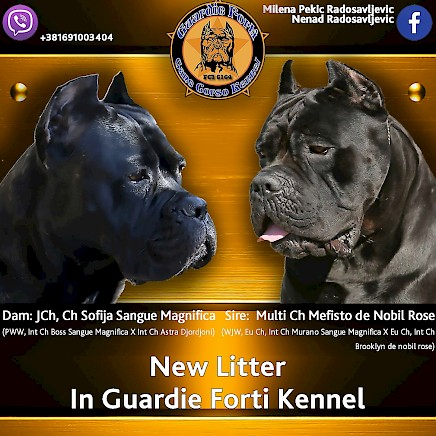 Show quality cane corso puppies for sale