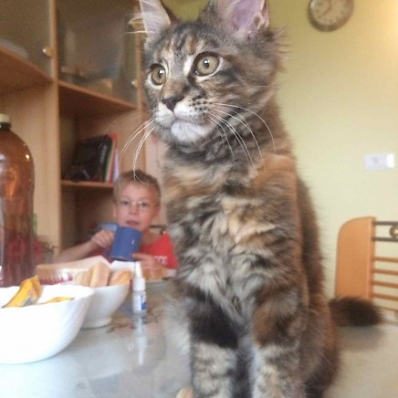 MAINE COON breeding and show female