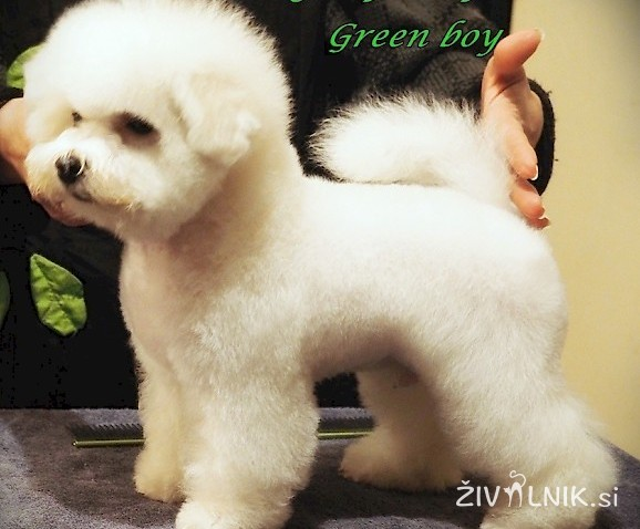 Beautiful little Bichon frise a male